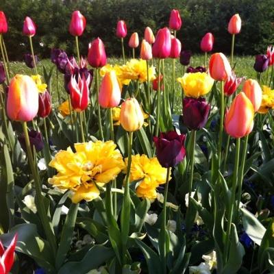 tulipan_01_1_1