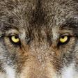 Vlk z Pavlova v archeoparku