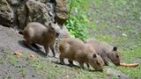 Trojnásobná radost v děčínské zoo: Máme trojčata kapybar vodních