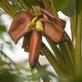 Trojská botanická zahrada slaví další pěstitelský úspěch. Poprvé tu kvete botanický banánovník z Bornea