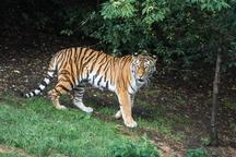 Zoo Praha má novou tygřici